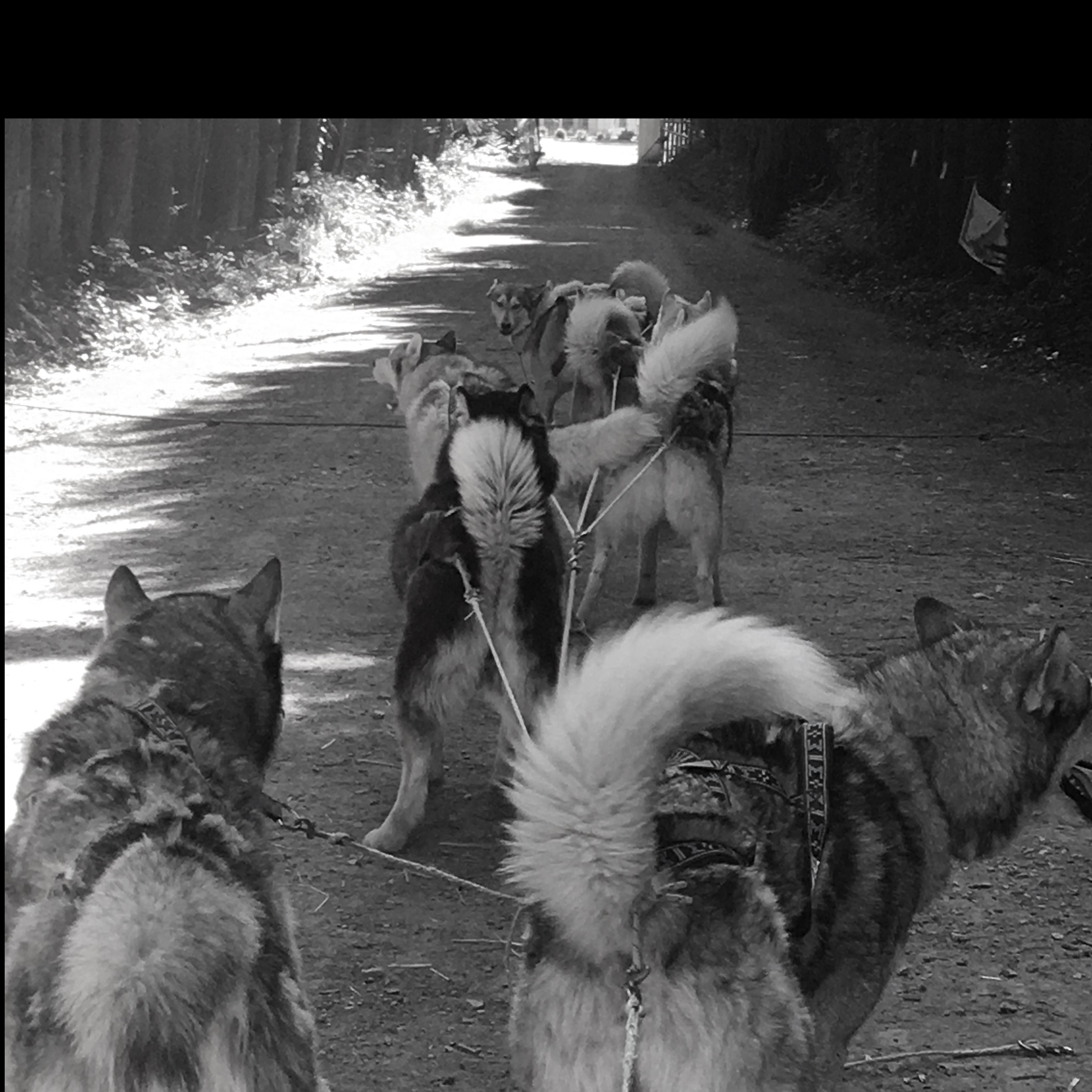 attelage chiens
