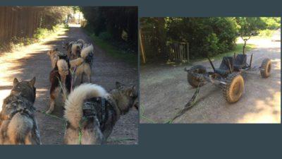 montage chiens de traineau attelage