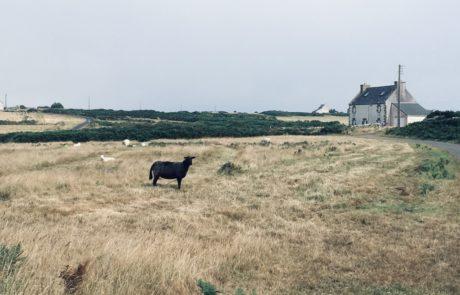 mouton dans un champ et église en arrière plan
