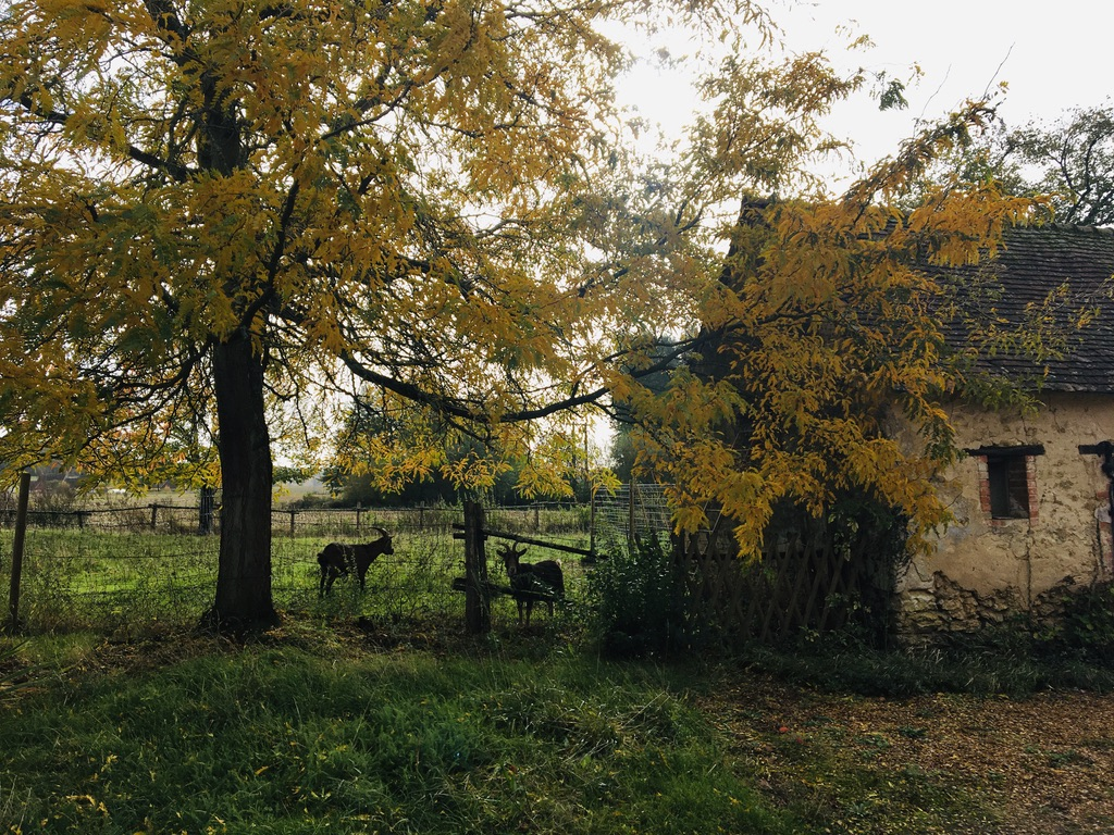 chevres sous arbre aux feuilles jaunes et près maison ancienne