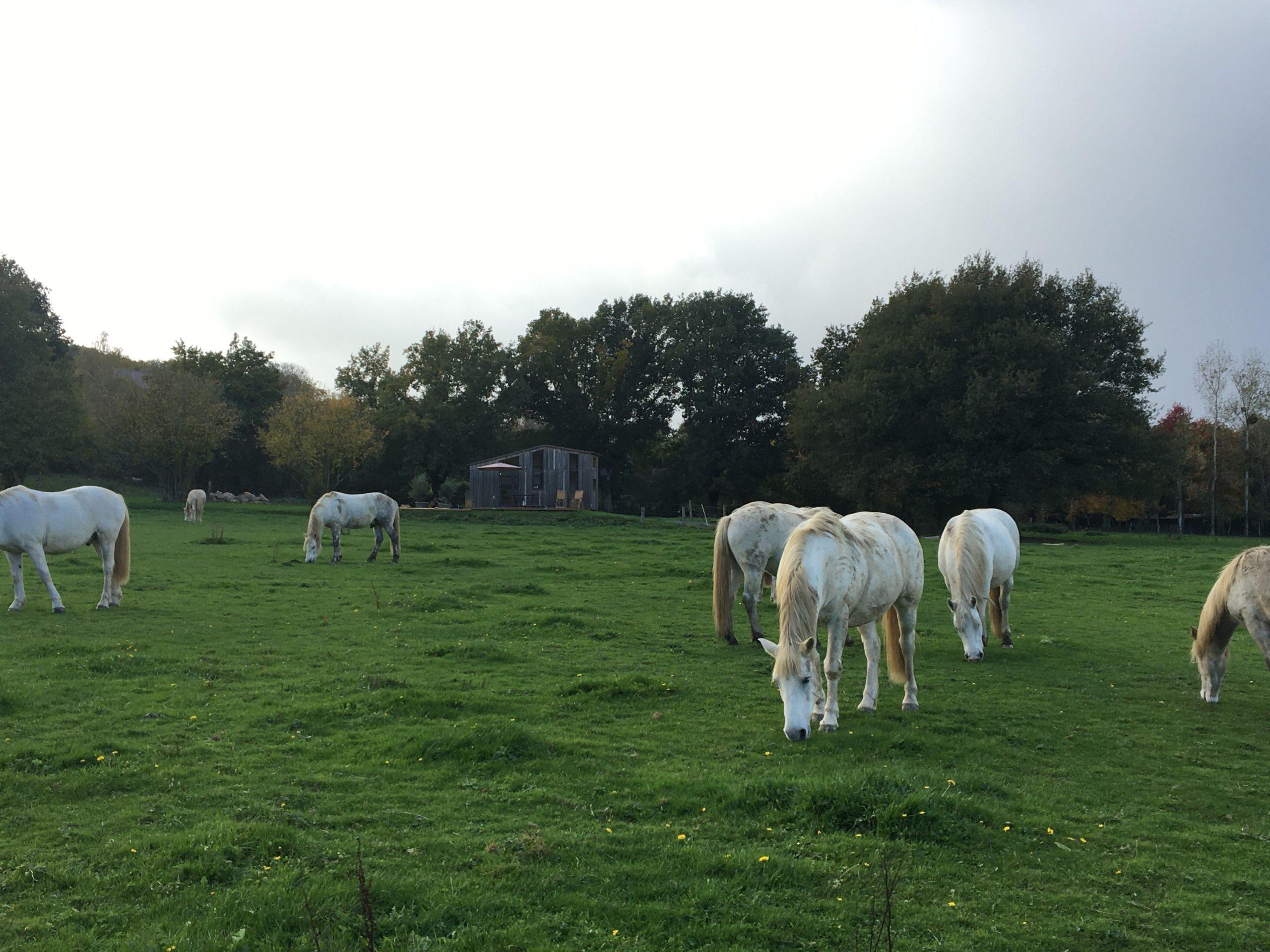chevaux de camargue dans un champs