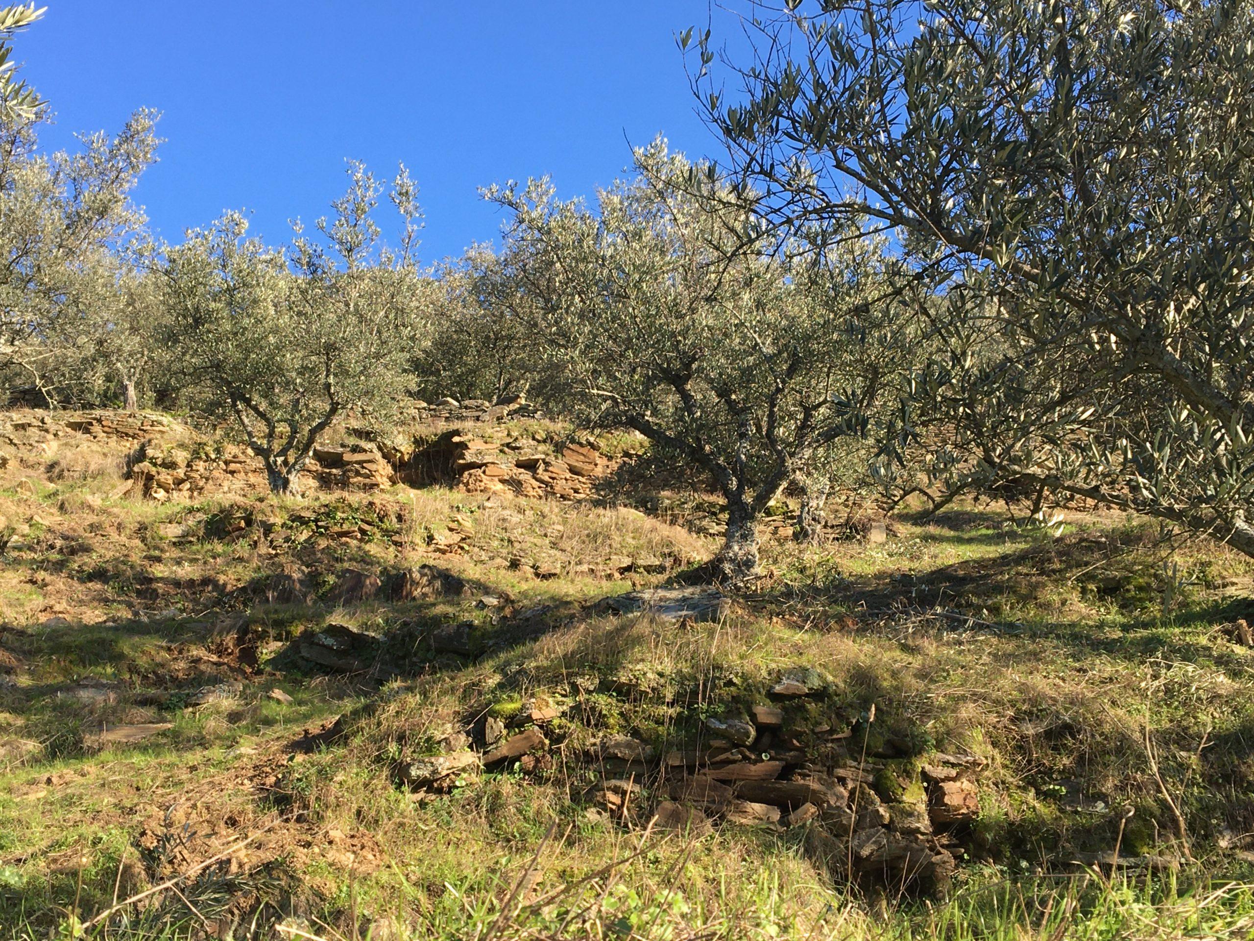 oliviers et coteaux